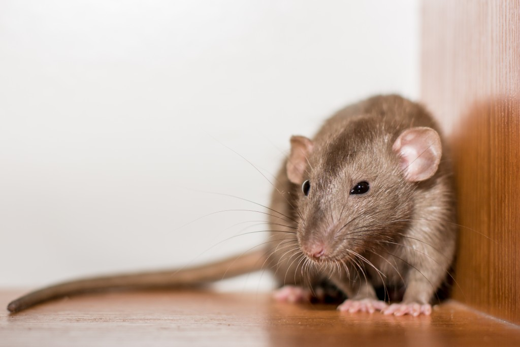 Close up of a rat